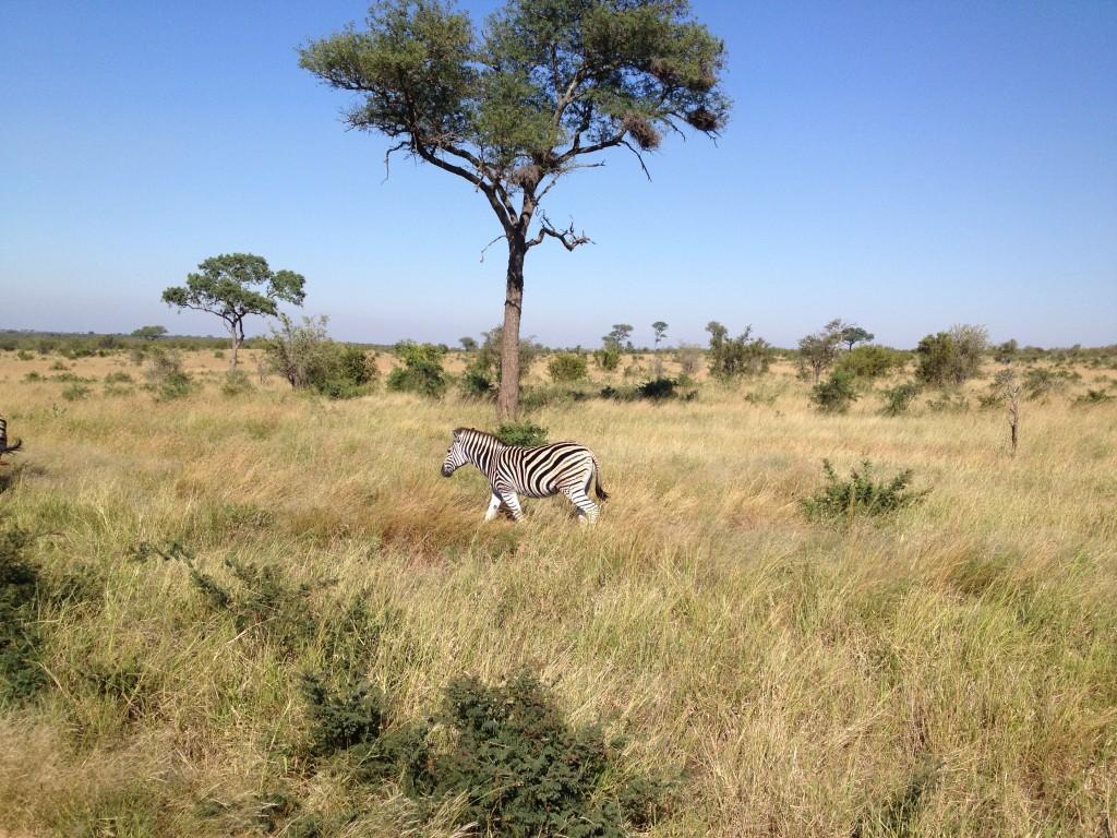 Devinette : comment fait-on pour savoir si un zèbre est un mâle ou une femelle ?