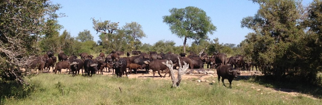 Buffalo herd near a waterhole