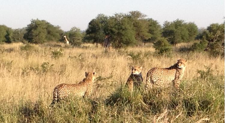 Cheetahs on the lookout!