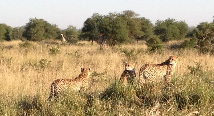 Les guépards à l'affût !