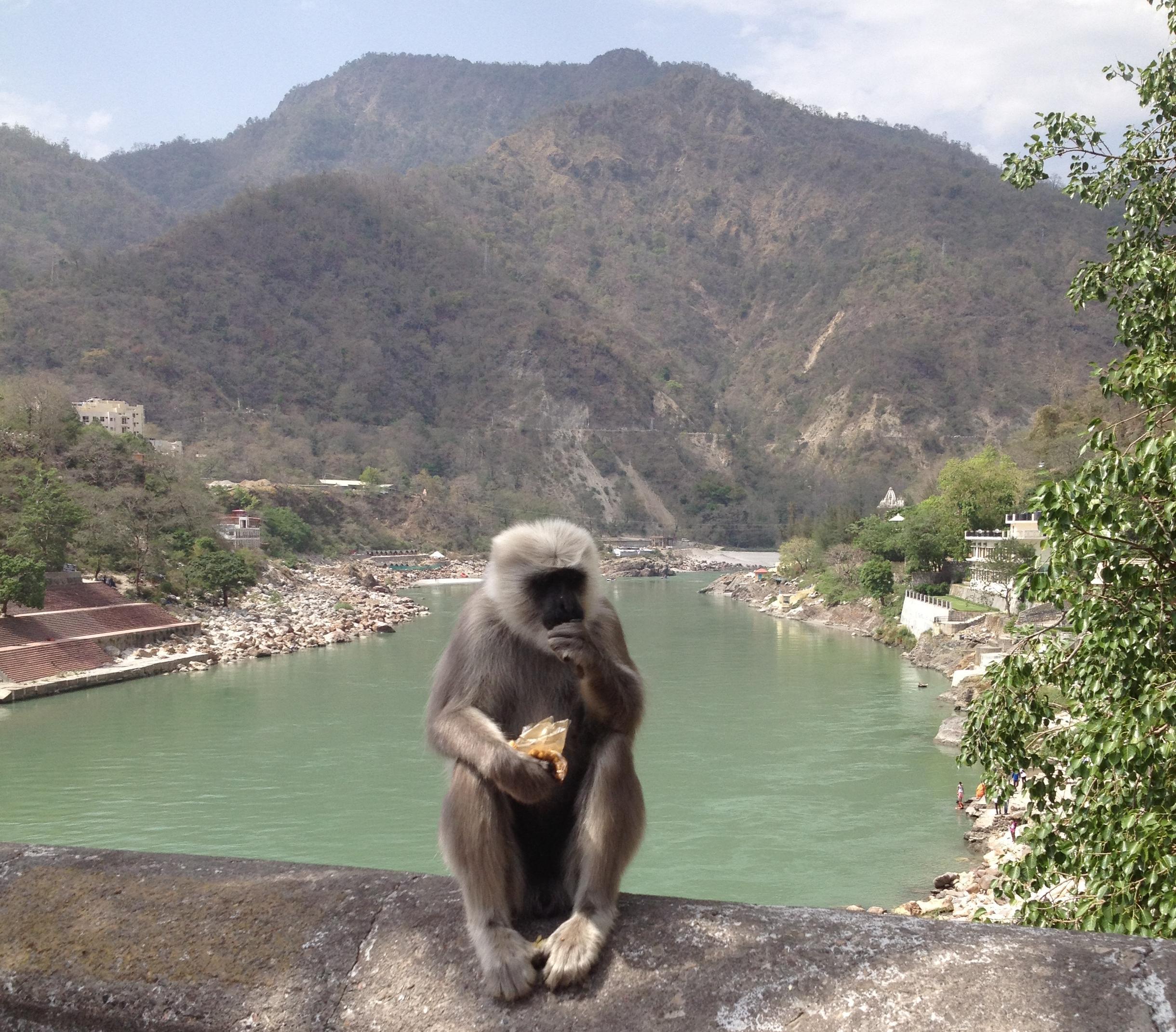 Un des nombreux singes sur le pont traversant le Gange